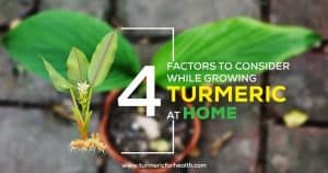 4 Factors To Consider While Growing Turmeric At Home